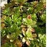 Sedum floriferum Weihenstephaner Gold Rozchodnik kwiecisty