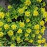Sedum kamtschaticeum var. Ellacombianum Rozchodnik kamczacki