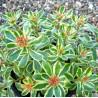Sedum Kamtschaticeum var. Variegatum Rozchodnik kamczacki