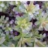Sedum middendorfianum Diffusum Rozchodnik