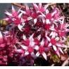 Sedum spurium Purpurteppich Rozchodnik kaukaski