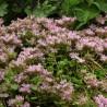 Sedum spurium Roseum Superbum Rozchodnik kaukaski