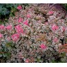 Sedum spurium Tricolor Rozchodnik kaukaski