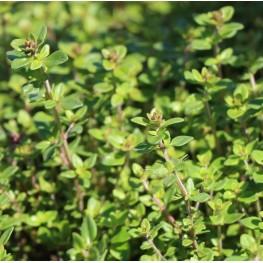 Thymus citrodorus Lemon Macierzanka cytrynowa