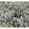 Thymus citrodorus Silver King Macierzanka cytrynowa