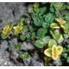 Thymus commosum Donne Valley Macierzanka cytrynowa