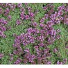 Thymus praecox Pseudolanuginosus Macierzanka wczesna