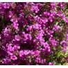 Thymus praecox Purpurteppich Macierzanka wczesna