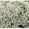 Thymus serpyllum Album Macierzanka piaskowa