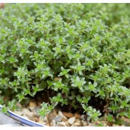 Thymus vulgaris Tymianek właściwy