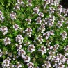 Thymus vulgaris Compactum Tymianek właściwy