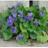 Viola odorata Fiołek pachnący