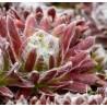 Sempervivum arachnoideum Rubrum Rojnik pajęczynowaty