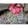Sempervivum arachnoideum Tomendosum Rojnik pajęczynowaty
