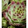 Sempervivum calcareum Bicolor Rojnik wapienny
