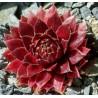 Sempervivum hybryda Granat Rojnik