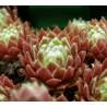 Sempervivum hybryda Jubilee Rojnik