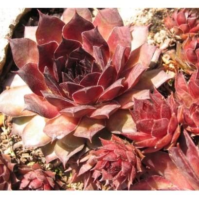 Sempervivum hybryda Mahagonii Rojnik