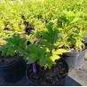 Hydrangea Paniculata Diamantino Hortensja Bukietowa