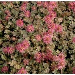 Acaena microphylla Acaena drobnolistna