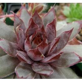 Sempervivum hybryda Metallicum Giganteum Rojnik