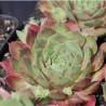 Sempervivum marmoreum Ornatum Rojnik ćmy