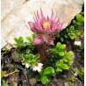 Sempervivum montanum Rojnik górski