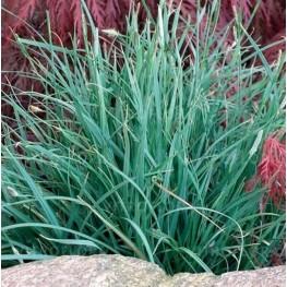 Carex panicea Pamira Turzyca