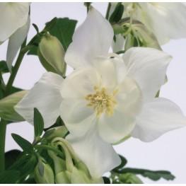 Aquilegia caerulea Spring Magic White Orlik niebieski Spring Magic White