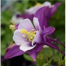 Aquilegia Early Bird Purple White
