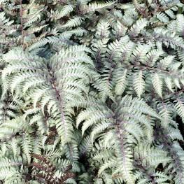 Athyrium niponnicum Red Beauty Wietlica japońska