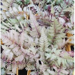 Athyrium niponnicum Burgundy Lace Wietlica japońska