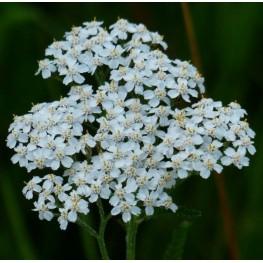 Achillea millefolium White Beauty Krwawnik