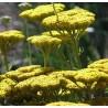 Achillea filipendulina 'Cloth of Gold'- Krwawnik wiązówkowaty