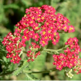 Achillea millefolium Paprika Krwawnik pospolity
