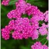 Achillea millefolium Cersie Queen Krwawnik pospolity