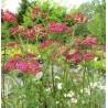 Achillea millefolium Cherry Queen Krwawnik pospolity