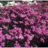 Achillea millefolium Kelwayi Krwawnik pospolity