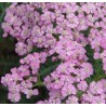 Achillea millefolium Lilac Beauty Krwawnik pospolity