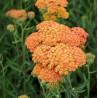 Achillea millefolium Terracota Krwawnik pospolity