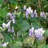 Aconitum Bicolor Tojad