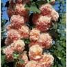 Alcea rosea Double Apricot Malwa różowa
