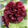 Alcea rosea Double Purple Malwa różowa