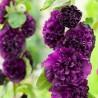 Alcea rosea Double Violet Malwa różowa