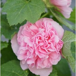 Alcea rosea Chater's Double Rose Malwa