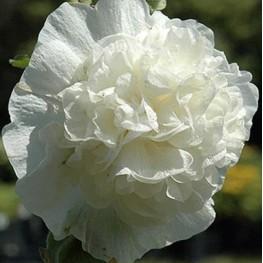 Alcea rosea Chater's Double White Malwa