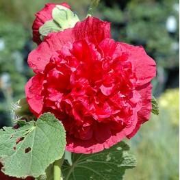 Alcea rosea Chater's Double Scarlet Malwa różowa