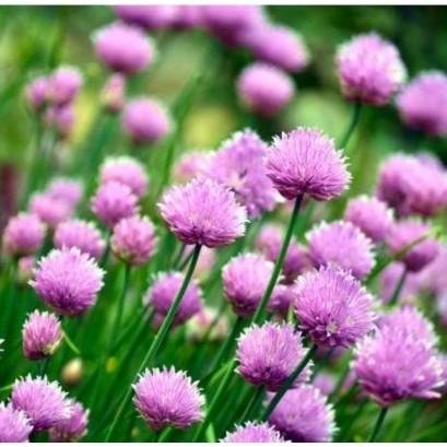 Allium schoenoprassum Czosnek szczypiorek
