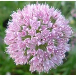 Allium senescens montanum Czosnek skalny