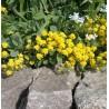 Alyssum saxatile Compactum Smagliczka skalna